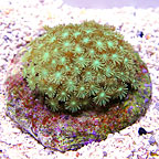 ORA® Marshall Islands Goniopora Coral Green (click for more detail)