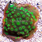 TCN Fire Echinopora Coral  (click for more detail)