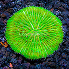 Aussie Short Tentacle Plate Coral  (click for more detail)