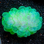 Bubble Coral Indonesia (click for more detail)