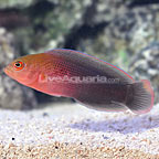 Dilectus Dottyback (click for more detail)