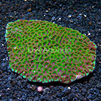 Favites Brain Coral Indonesia (click for more detail)