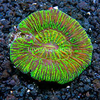 Aussie Open Brain Coral Combo (click for more detail)