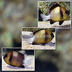 Cloudy Damselfish (Trio) (click for more detail)