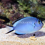 Watanabei Angelfish Female (click for more detail)