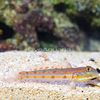 Diamond Watchman Goby  (click for more detail)