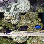 Caribbean Blue Reef Chromis (Trio) (click for more detail)