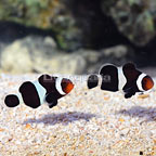 ORA® Captive-Bred Black Ocellaris Clownfish (Bonded Pair) (click for more detail)