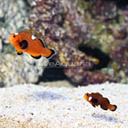 Sanjay Black Photon F2 Naked with Dots Clownfish (Bonded Pair) (click for more detail)