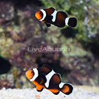 Sanjay Black Photon F2 Misbar Clownfish (Bonded Pair) (click for more detail)
