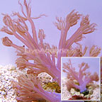 ORA® Vargus Cespitularia Coral (click for more detail)