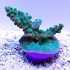 ORA® Micronesian Green and Blue Acropora Coral  (click for more detail)