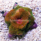 Reef Gen Golden Seuss Chalice Coral (click for more detail)