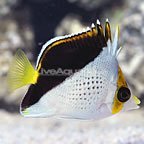 Tinkeri Butterflyfish (click for more detail)