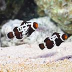 ORA® Captive-Bred Premium Black Snowflake Ocellaris Clownfish (Bonded Pair) (click for more detail)