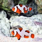 ORA® Captive-Bred Premium Gladiator Clownfish (Bonded Pair) (click for more detail)