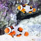 ORA® Captive-Bred Premium Picasso Clownfish (Bonded Pair) (click for more detail)