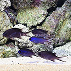 Caribbean Blue Reef Chromis (Group of 5) (click for more detail)