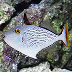 Striped Triggerfish (click for more detail)