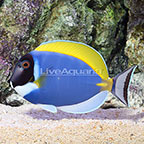 Powder Blue Tang [Blemish] (click for more detail)