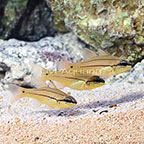 Biota Captive-Bred Seal's Cardinalfish (Trio) (click for more detail)