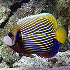 Emperor Angelfish Adult [Blemish] (click for more detail)