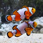 ORA® Captive-Bred Snowflake Clownfish (Bonded Pair) (click for more detail)