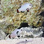 Bali Aquarich Captive-Bred Platinum Storm Clownfish (Bonded Pair) (click for more detail)