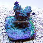 TCN Lincoln Lilac Acropora Coral (click for more detail)