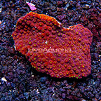 Aussie Cyphastrea Coral (click for more detail)