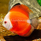 White Face Marlboro Discus (click for more detail)