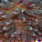 Bubble Tip Anemone Green with Colored Tips (click for more detail)
