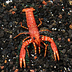Red Hawaiian Reef Lobster (click for more detail)