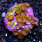Biota Cultured Zoanthid Coral (click for more detail)