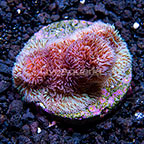USA Cultured Purple Pavona Coral (click for more detail)
