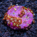 ORA® Premium Marshall Island Zoanthid (click for more detail)