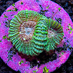 USA Cultured Pink Parade Favia Coral  (click for more detail)