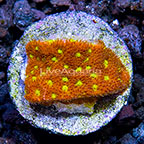 USA Cultured Bright Eyes Psammocora Coral (click for more detail)