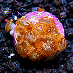 LiveAquaria® Utter Chaos Zoanthus (click for more detail)