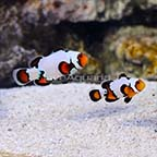 ORA® Captive-Bred Premium Black Ice Snowflake Ocellaris Clownfish (Bonded Pair) (click for more detail)