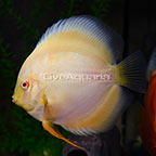 Albino Yellow Marlboro Discus (click for more detail)