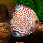 Pigeon Blood Discus (click for more detail)