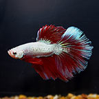 Halfmoon Betta, Male (click for more detail)