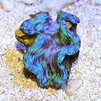 Indonesian Cultured Blue Squamosa Clam (click for more detail)