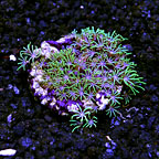 Biota Cultured Metallic Green Star Polyp (click for more detail)