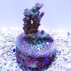 DFS Pink Diamonds Acropora Coral (click for more detail)