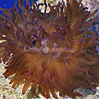 Long Tentacle Anemone Purple (click for more detail)