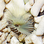 Dwarf Feather Duster, Yellow (click for more detail)