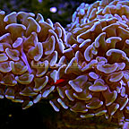 Branching Hammer Coral Indonesia  (click for more detail)