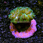 ORA® Pearl Bubble Coral  (click for more detail)